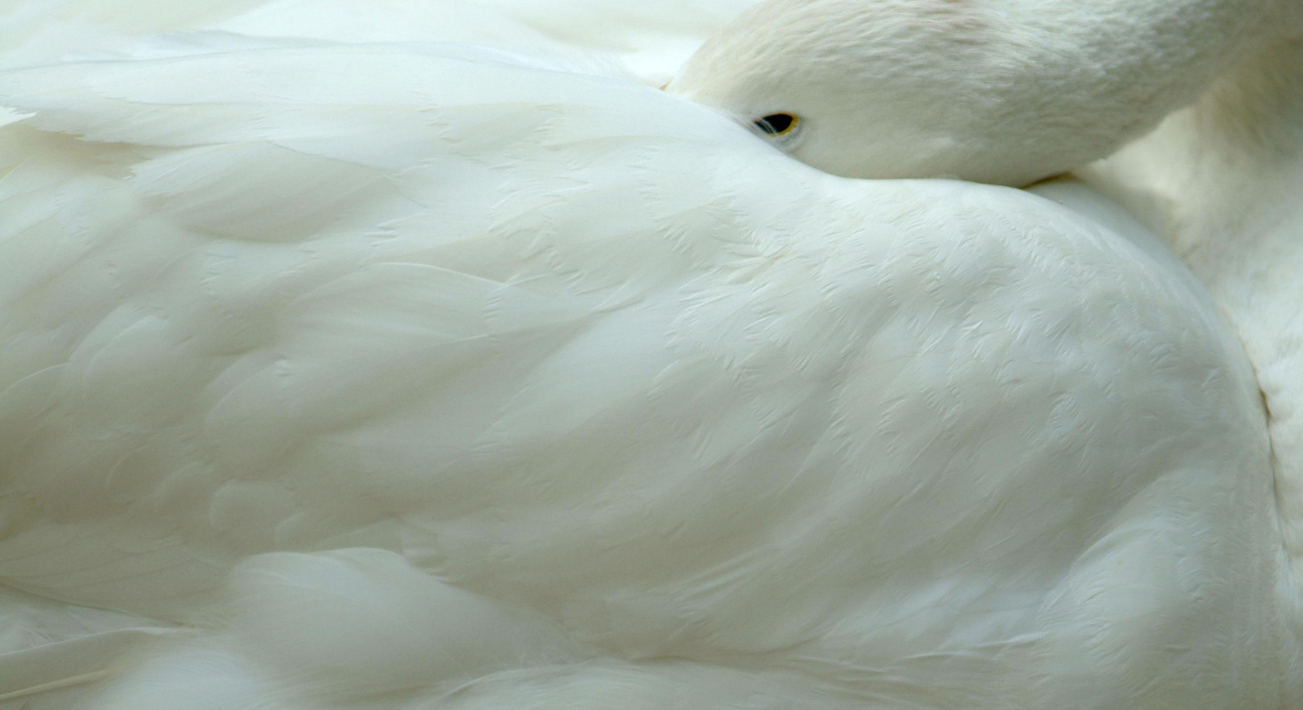 swans-eye